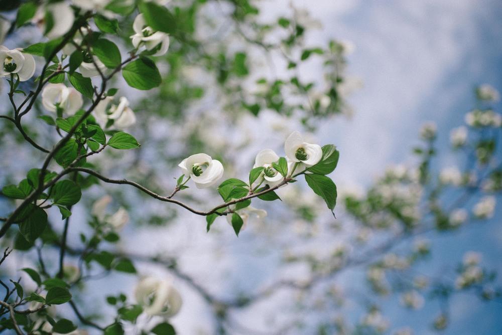 cherryblossom-kyoto