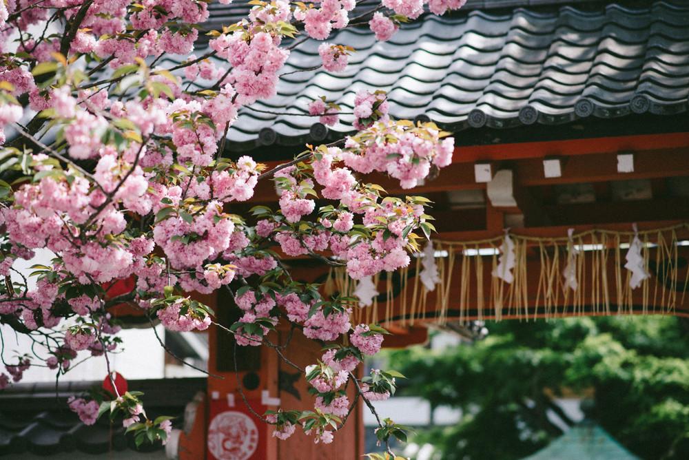cherry-blossom-kyoto