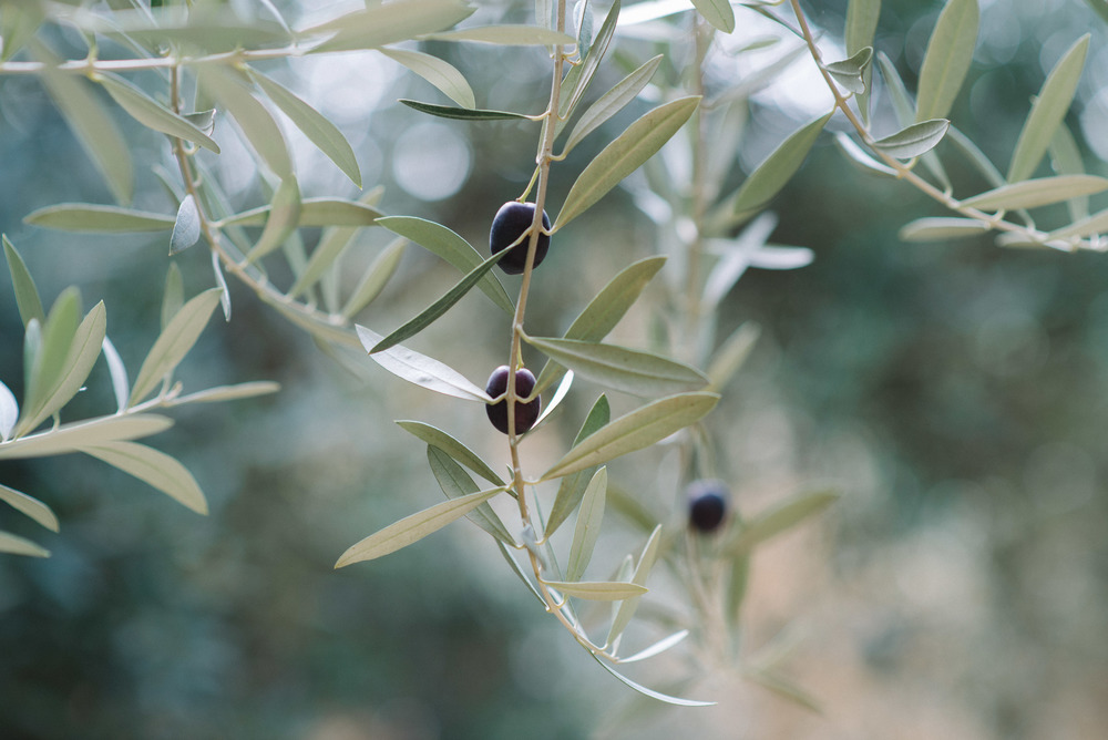 olive-tree-marrakech-morocco