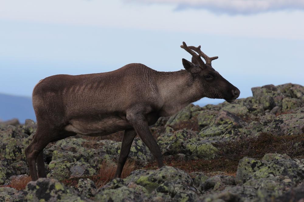 Caribou sur le Mont-Albert, Parc National de la Gaspésie, Qc