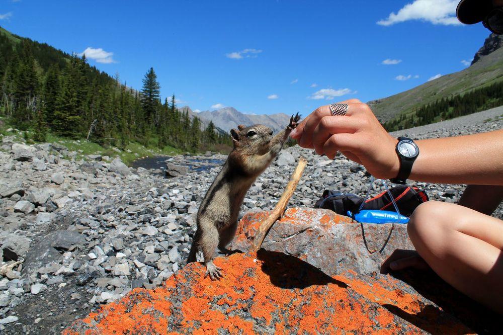 Spermophile au lac Bourgeau, Banff National Park, AB, CA