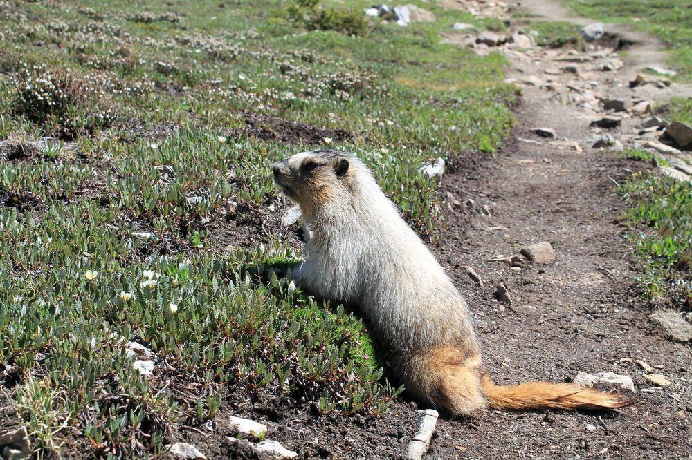 Marmotte, au pied du Col Haley, Banff National Park, AB, CA