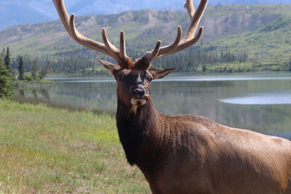 Caribou, Jasper National Park, AB, CA