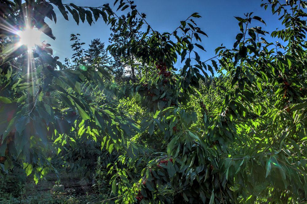 Cherry trees, Palomine Orchards, Winfield, Okanagan Valley, BC, CA