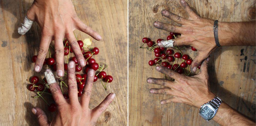 Nos mains après 8h de cueillette,Palomine Orchards, Winfield, Okanagan Valley, BC, CA