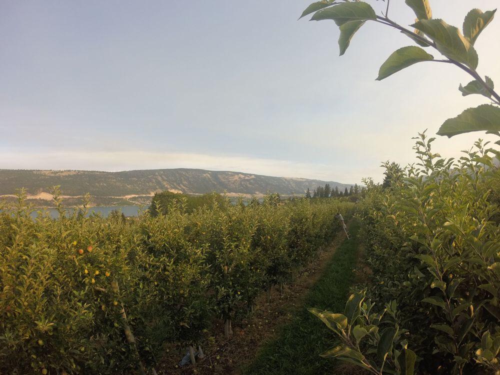 Verger, Palomine Orchards, Okanagan Valley, BC, CA