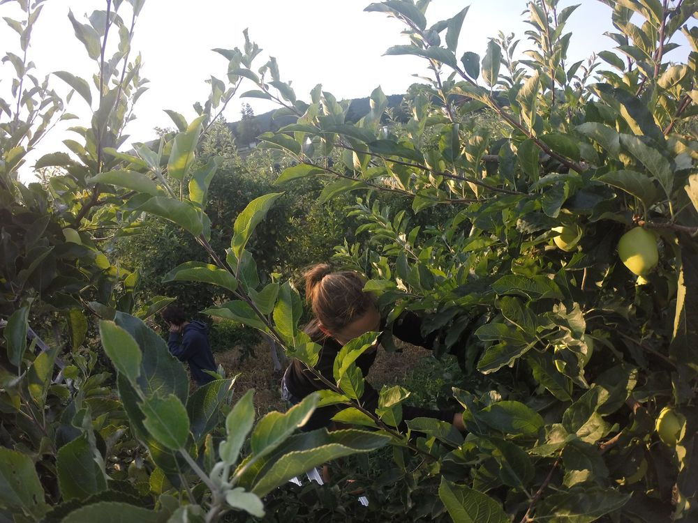 Apple thinning, Palomine Orchards, Winfield, Okanagan Valley, BC, CA