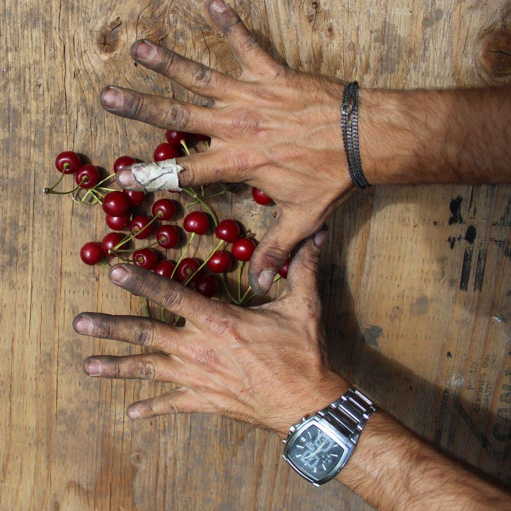 Nos mains après 8h de cueillette, Palomine Orchards, Winfield, Okanagan Valley, BC, CA