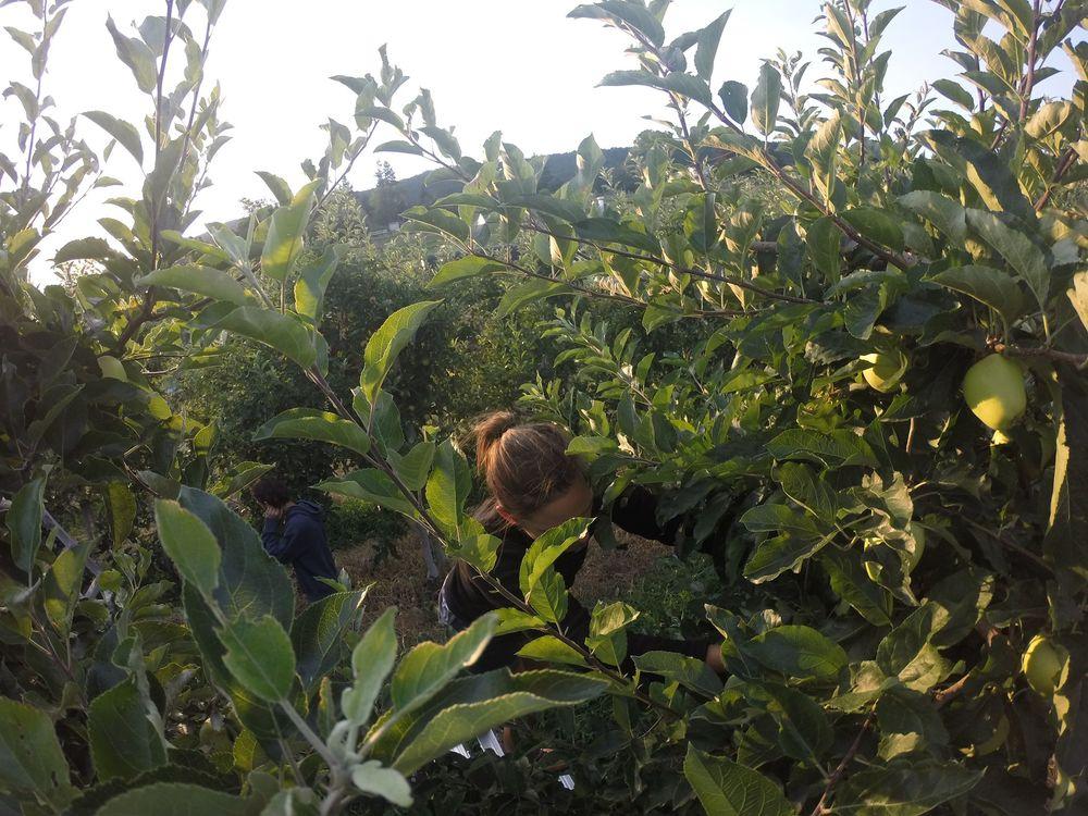 Apple thinning, Palomine Orchards, Winfield, Okanagan Valley, BC, C