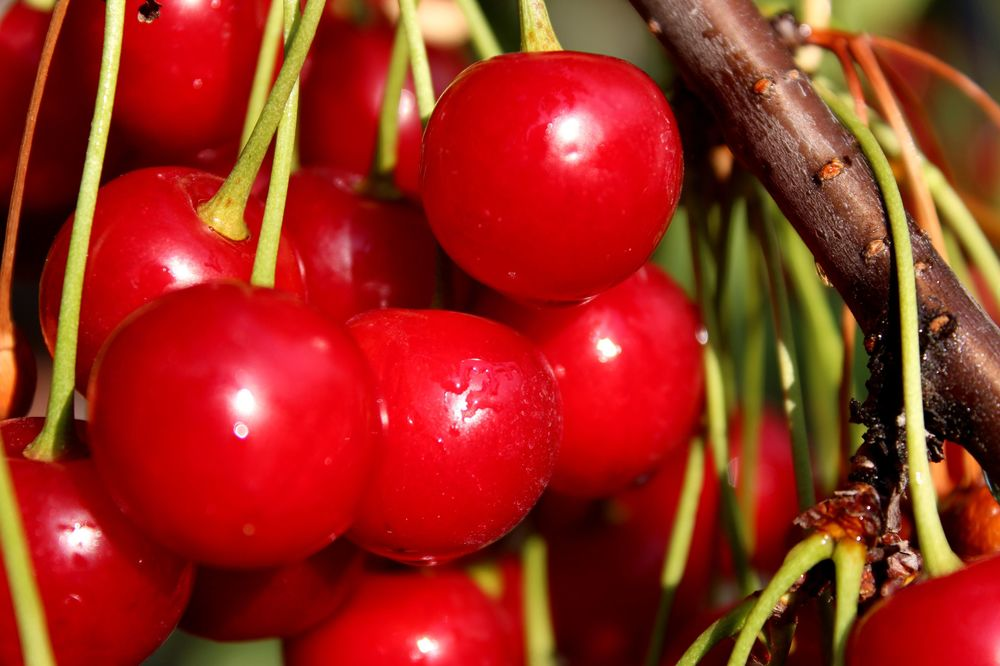 Red cherries, Palomine Orchards, Winfield, Okanagan Valley, BC, CA