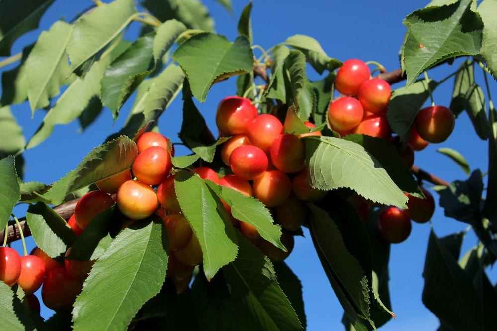 Yellow cherries, Palomine Orchards, Winfield, Okanagan Valley, BC, CA