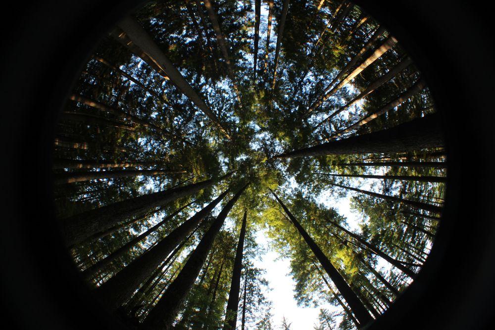 Les Douglas Fir, Lighthouse Park, West Vancouver, BC, CA