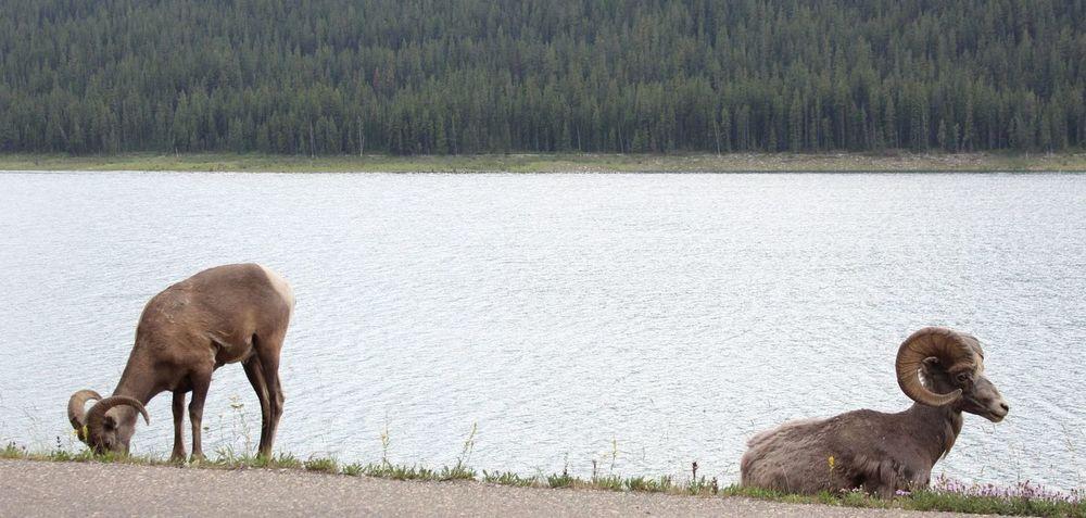 Bighorn sheep, Jasper National Park, AB, CA