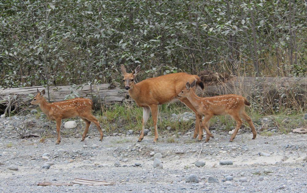 Famille Wapiti, Port Alice, BC, CA