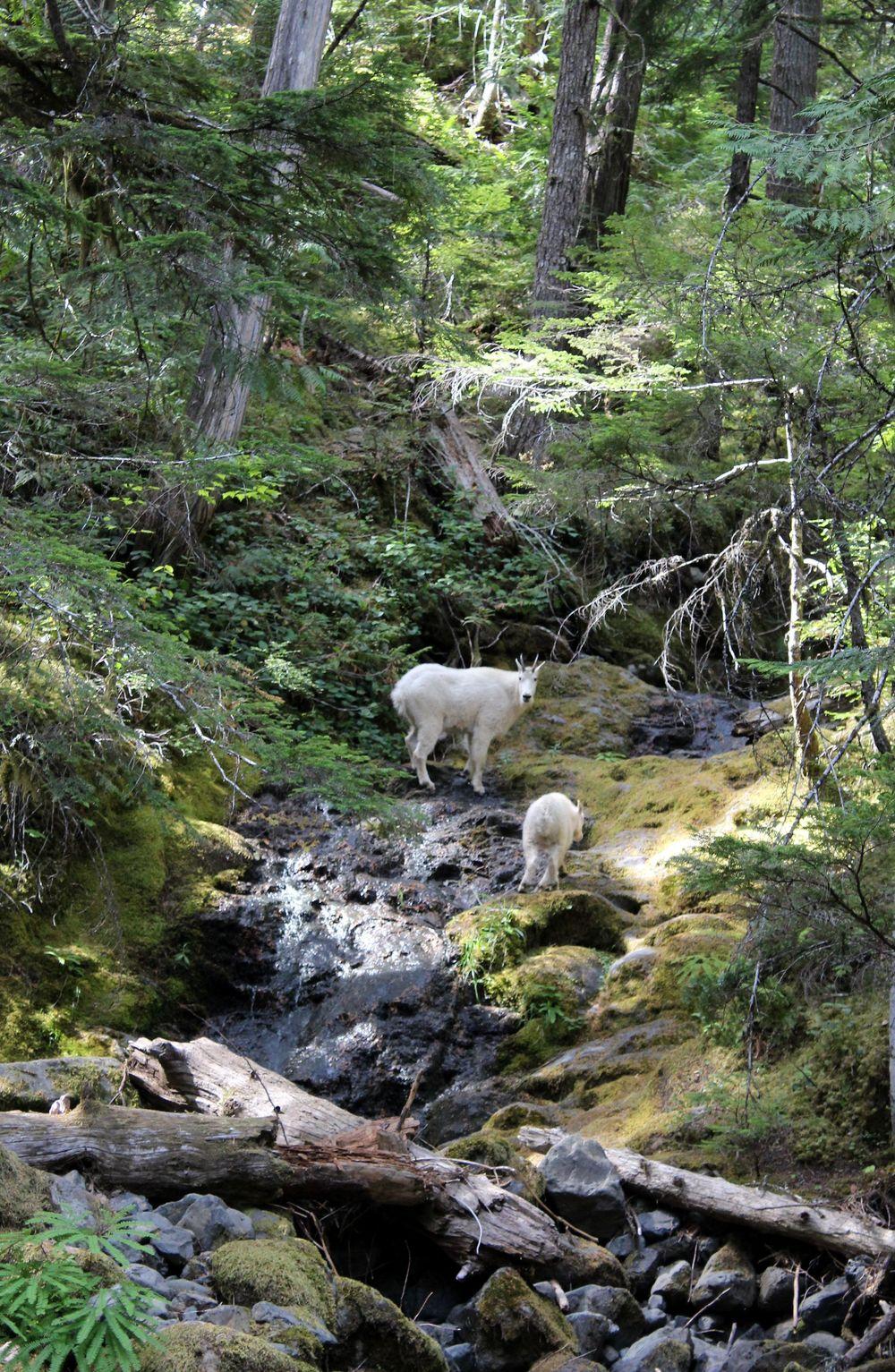 Chèvres des montagnes, Hamma Hamma, Jefferson County, Olympic National Park, WA, USA