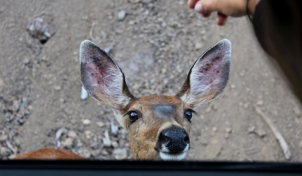 Bébé élan à Hurricain Ridge, Olympic National Park, WA, USA