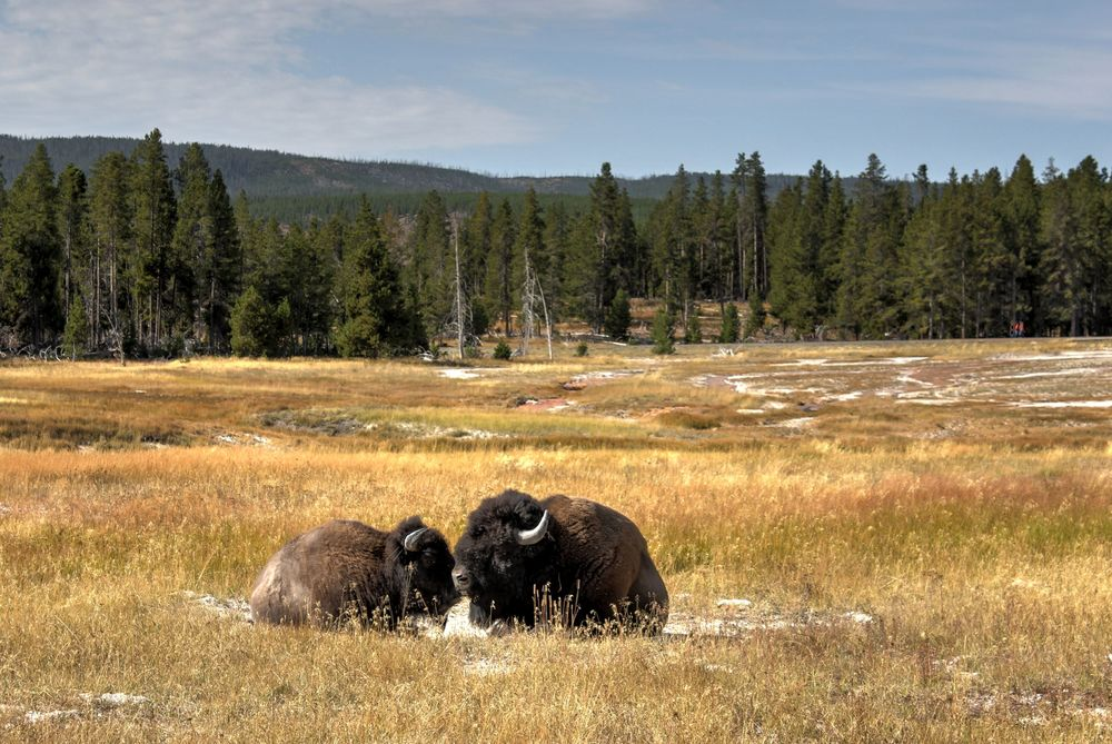 Bisons au coeur de l'Upper Geyser Basin, Yellowstone National Park, WY, USA