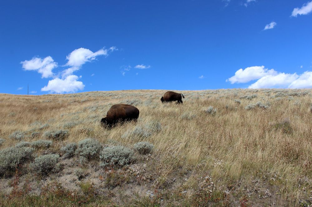 Bisons dans Lamar Valley, Yellowstone National Park, WY, USA