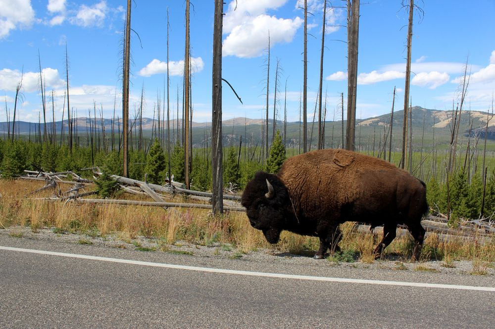 Bison dans Lamar Valley, Yellowstone National Park, WY, USA