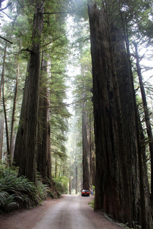 Sequoias de Redwood National Park, CA, USA