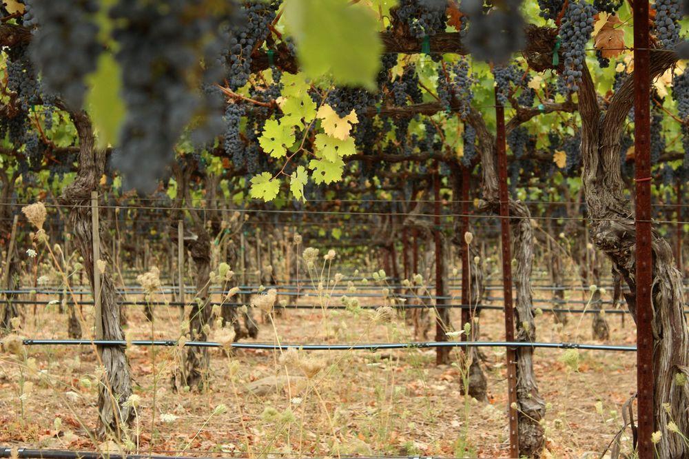Vignes de Castello di Amorosa, Napa Valley,  CA, USA
