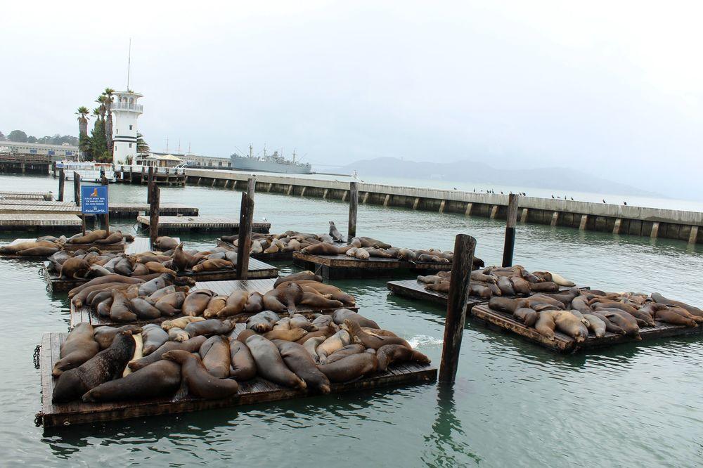 Phoques au Pier 39, Fisherman's Wharf, San Francisco, CA, USA