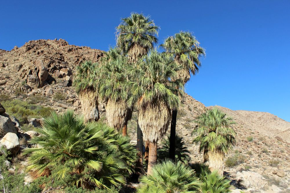 Oasis de Fortynine Palm, Joshua Tree National Park, CA, USA