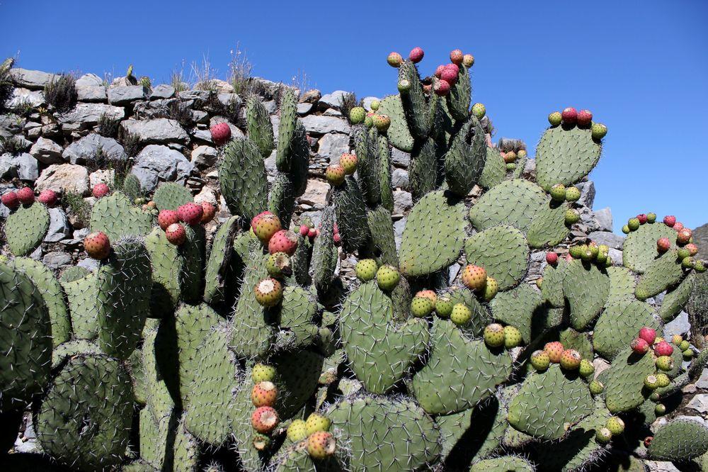 Cactus au village fantôme de Real de Catorce, San Lui Potosi, Mexique