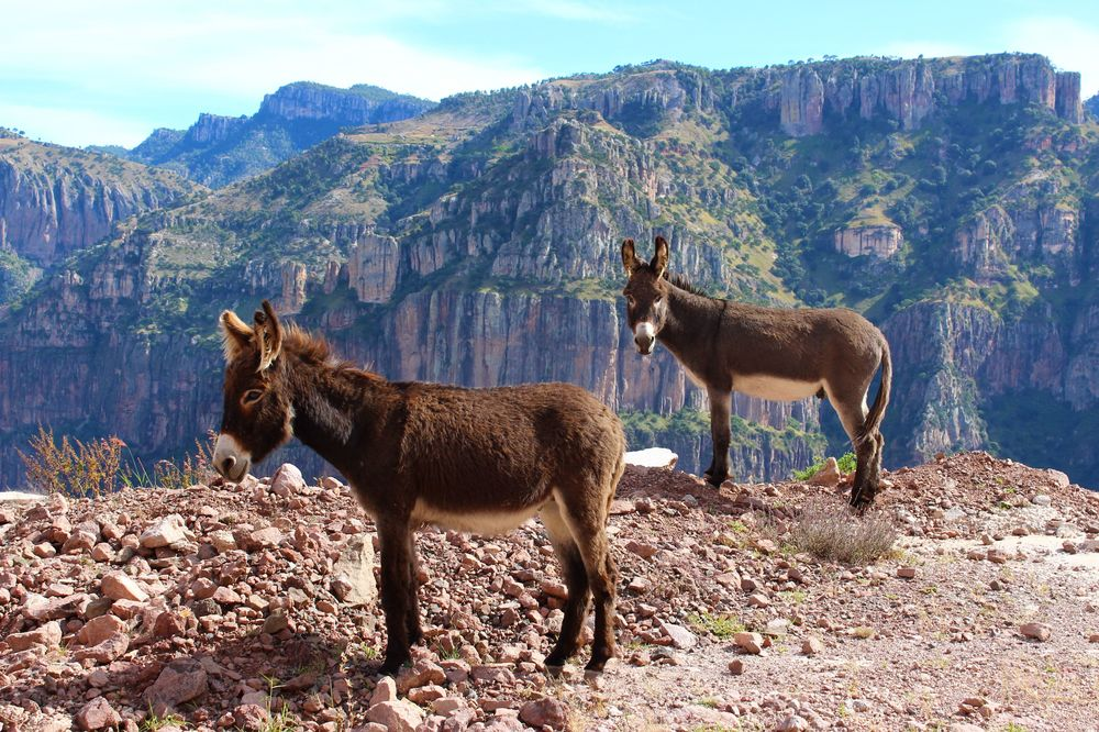 Ânes sur la route, Barranca Del Cobre, Chihuahua, Mexique