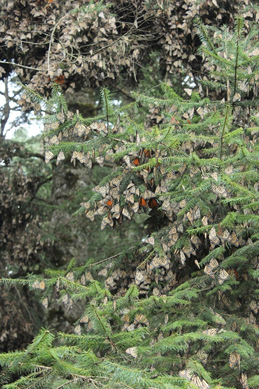 Reserva de la Biósfera Santuario Mariposa Monarca, Michoacàn, Mexique