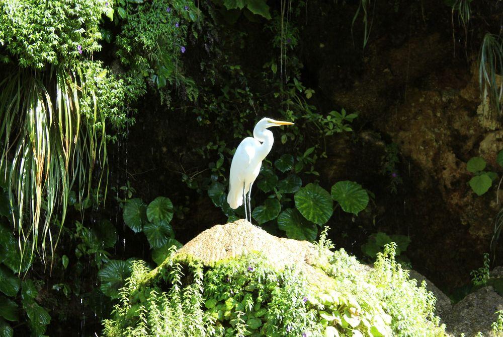 Grand Héron blanc, Cañón del Sumidero, Chiapas, Mexique