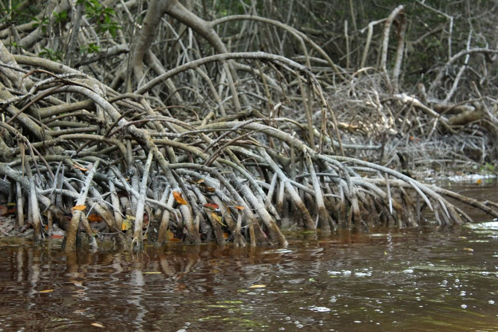 Mangroves, Celestùn, Yucatán, Mexico