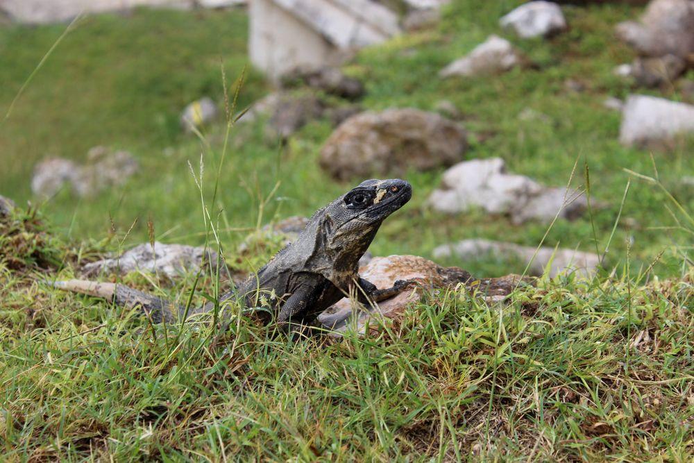 Iguane, Uxmal, Yucatán, Mexico