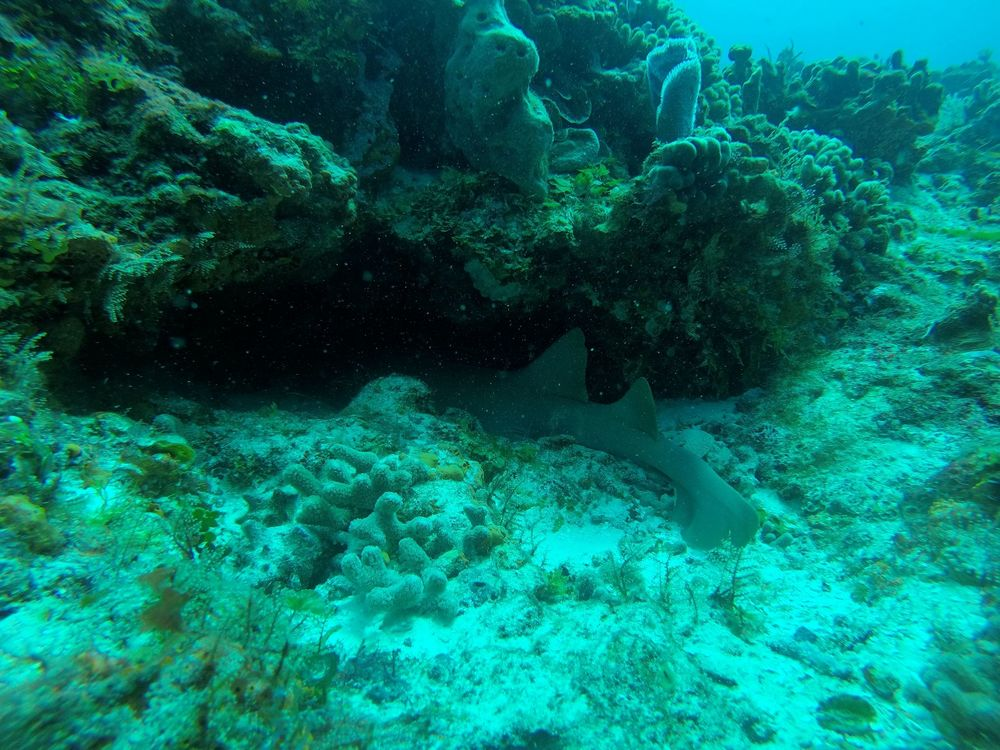 Requin-nourrice, récifs de Cozumel, Quintana Roo, Mexico