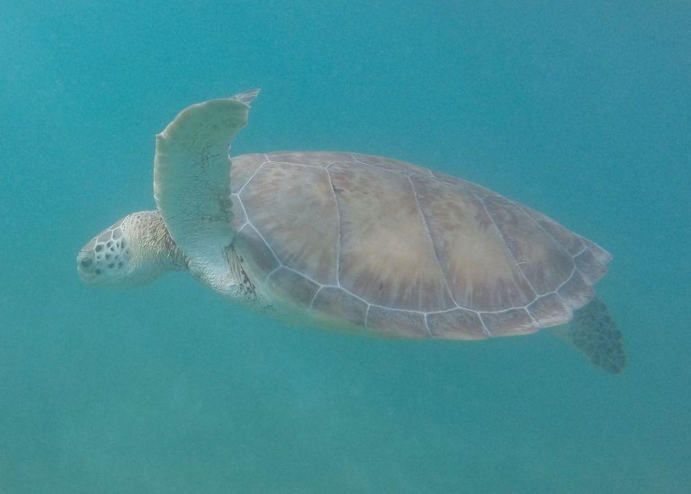 Tortue de mer, Akumal, Quintana Roo, Mexico