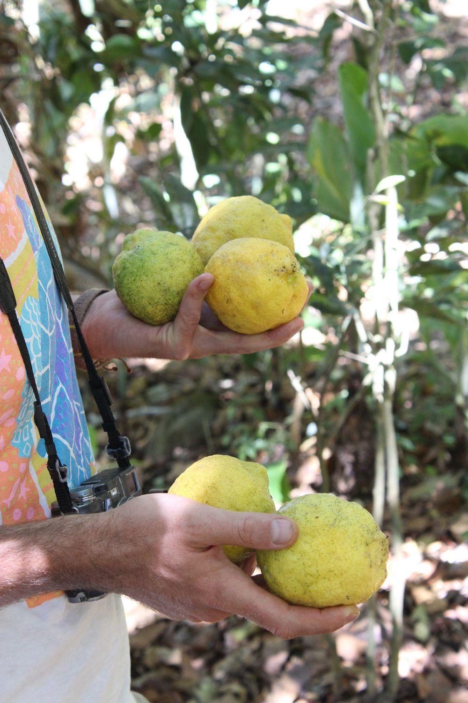 Citrons, Réserve naturelle de Tisey, Esteli, Nicaragua