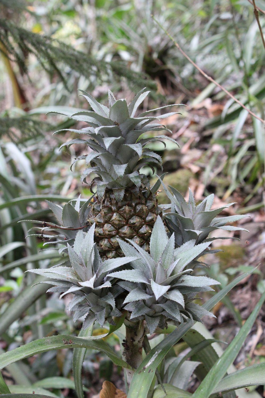 Ananas, Réserve naturelle de Tisey, Esteli, Nicaragua