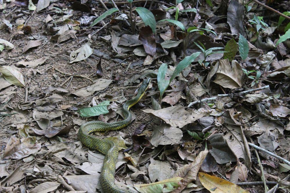 Serpent, Réserve naturelle Indio Maíz, Rio San Juan, Nicaragua
