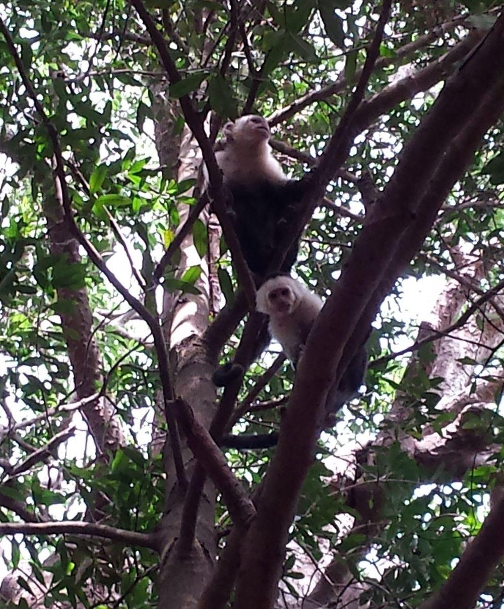 Capucins, Rincon de la Vieja, Guanacaste, Costa Rica