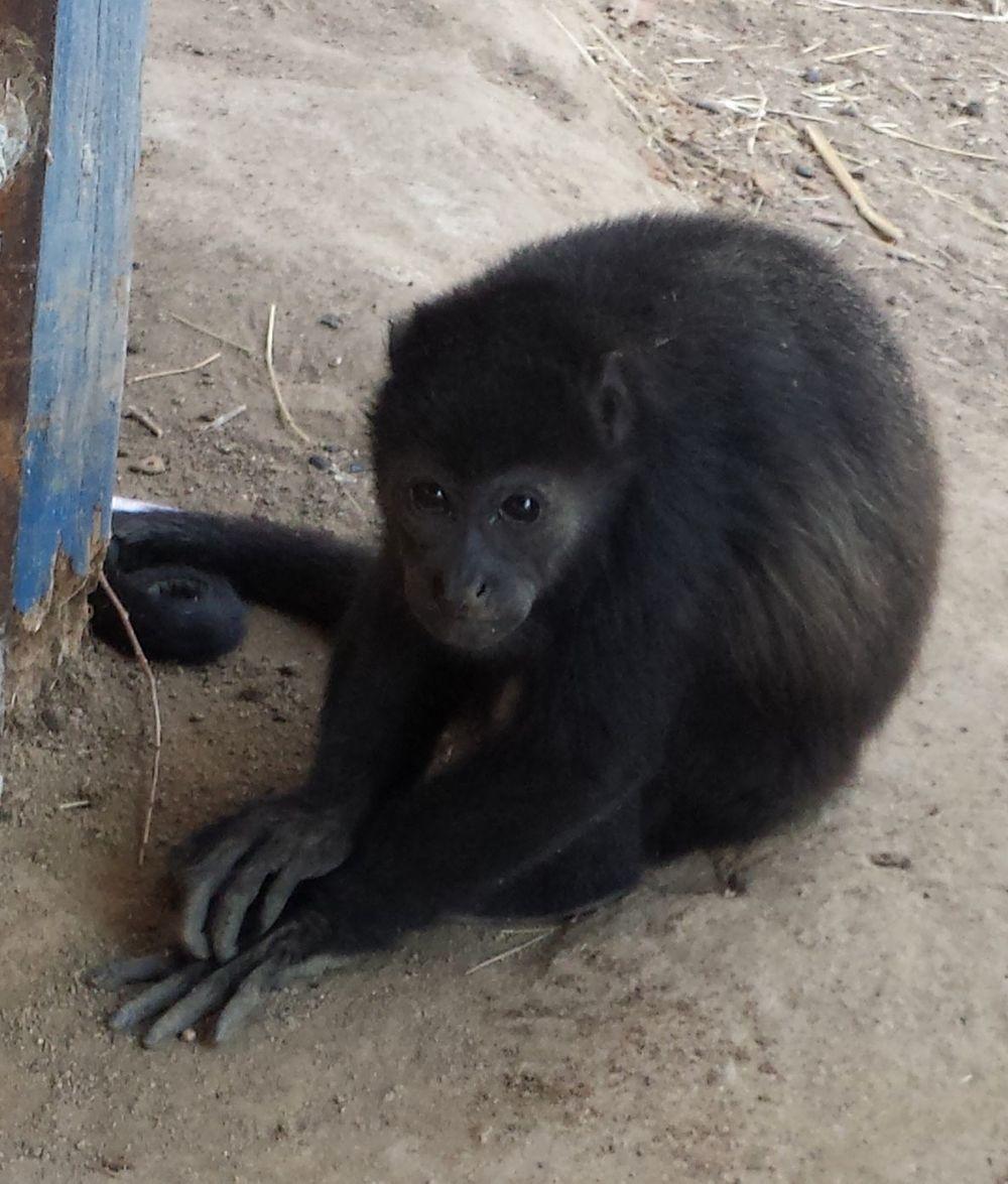 Heath notre singe hurleur, Monkey Farm, Playa Ocotal, Guanacaste, Costa Rica