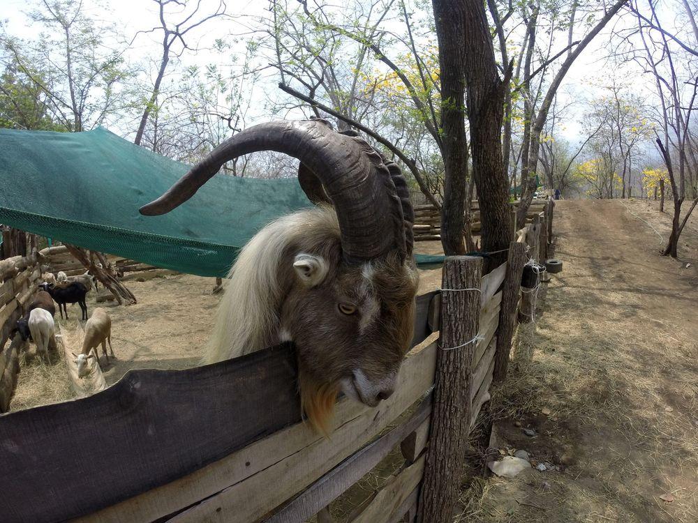 Rasta notre bouc, Monkey Farm, Playa Ocotal, Guanacaste, Costa Rica