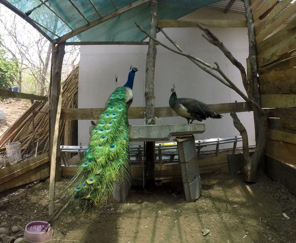 Paon, Monkey Farm, Playa Ocotal, Guanacaste, Costa Rica