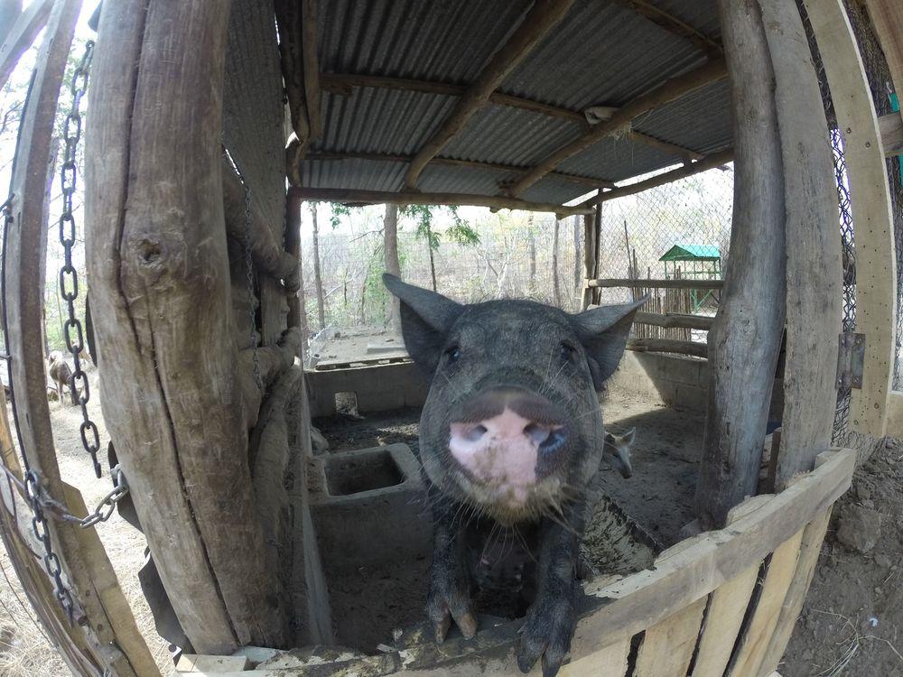 Serena notre cochonne vietnamienne, Monkey Farm, Playa Ocotal, Guanacaste, Costa Rica