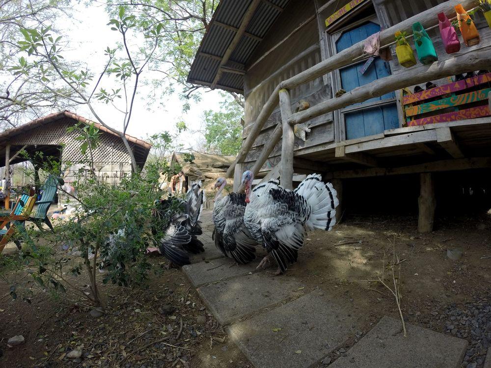 Nos dindes à Monkey Farm, Guanacatse, Costa Rica