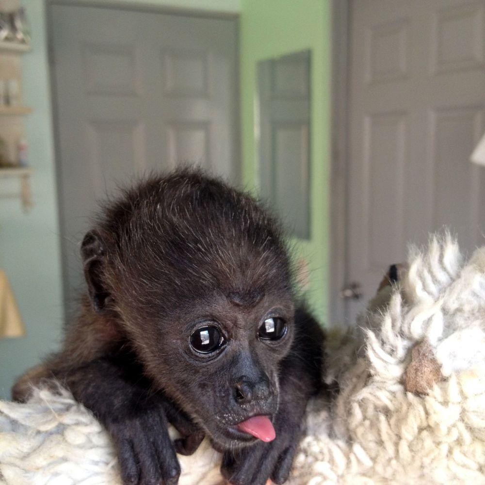 Laura le bébé singe, Monkey Farm, Playa Ocotal, Guanacaste, Costa Rica