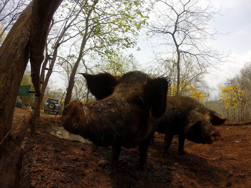 Nos cochons excités, Monkey Farm, Playa Ocotal, Guanacaste, Costa Rica