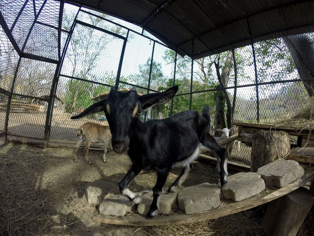 Blacky notre bébé chèvre, Monkey Farm, Playa Ocotal, Guanacaste, Costa Rica