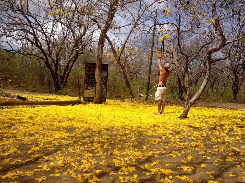 Cueillette de la Corteza Amarilla , Monkey Farm, Playa Ocotal, Guanacaste, Costa Rica