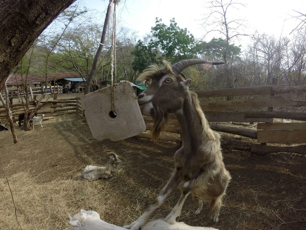 Elvis le fils de Rasta, Monkey Farm, Playa Ocotal, Guanacaste, Costa Rica