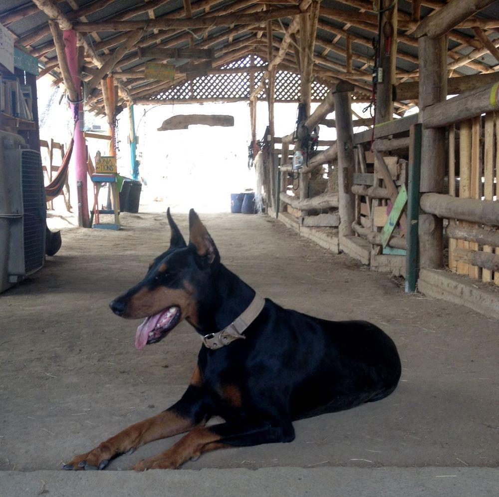Coquetta notre Doberman, Monkey Farm, Playa Ocotal, Guanacaste, Costa Rica